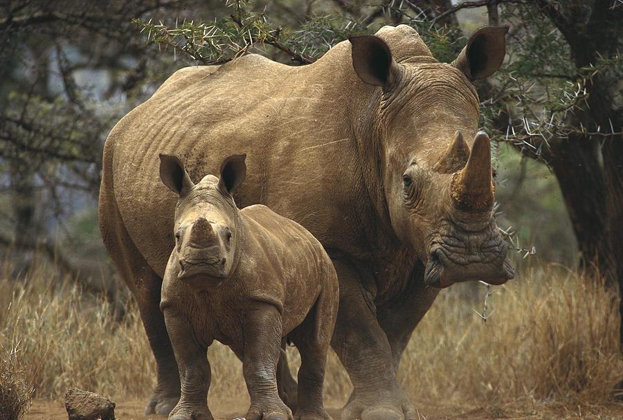 White Rhinoceros And Baby Lewa Kenya Photograph by Gerry Ellis