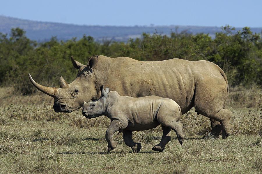 White Rhinoceros And Calf Kenya Photograph by Hiroya Minakuchi
