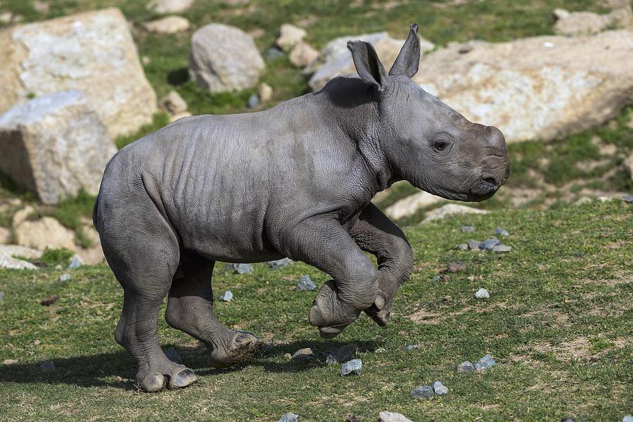 White Rhinoceros Calf Running Photograph by San Diego Zoo