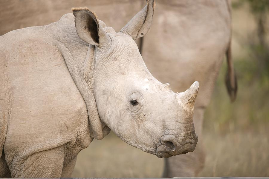 Adult Photograph - White Rhinoceros Calf by Science Photo Library