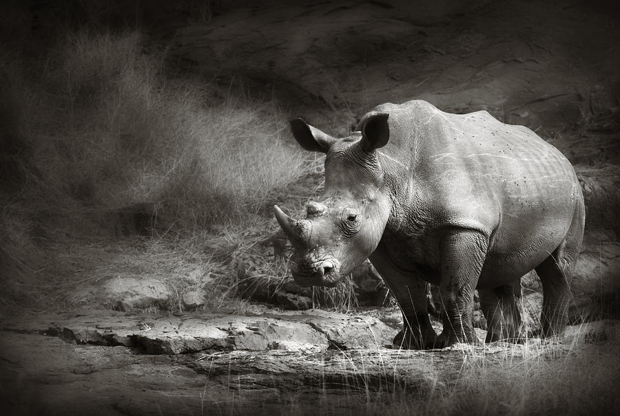 White Rhinoceros Photograph