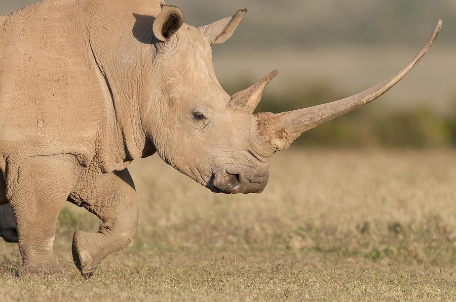 White Rhinoceros Kenya Photograph by Tui De Roy