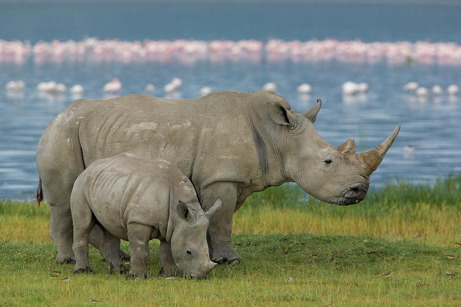 White Rhinoceros Mother and Young Photograph by Ingo Arndt