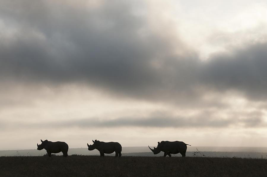 White Rhinoceros Trio At Sunset Kenya Photograph by Tui De Roy