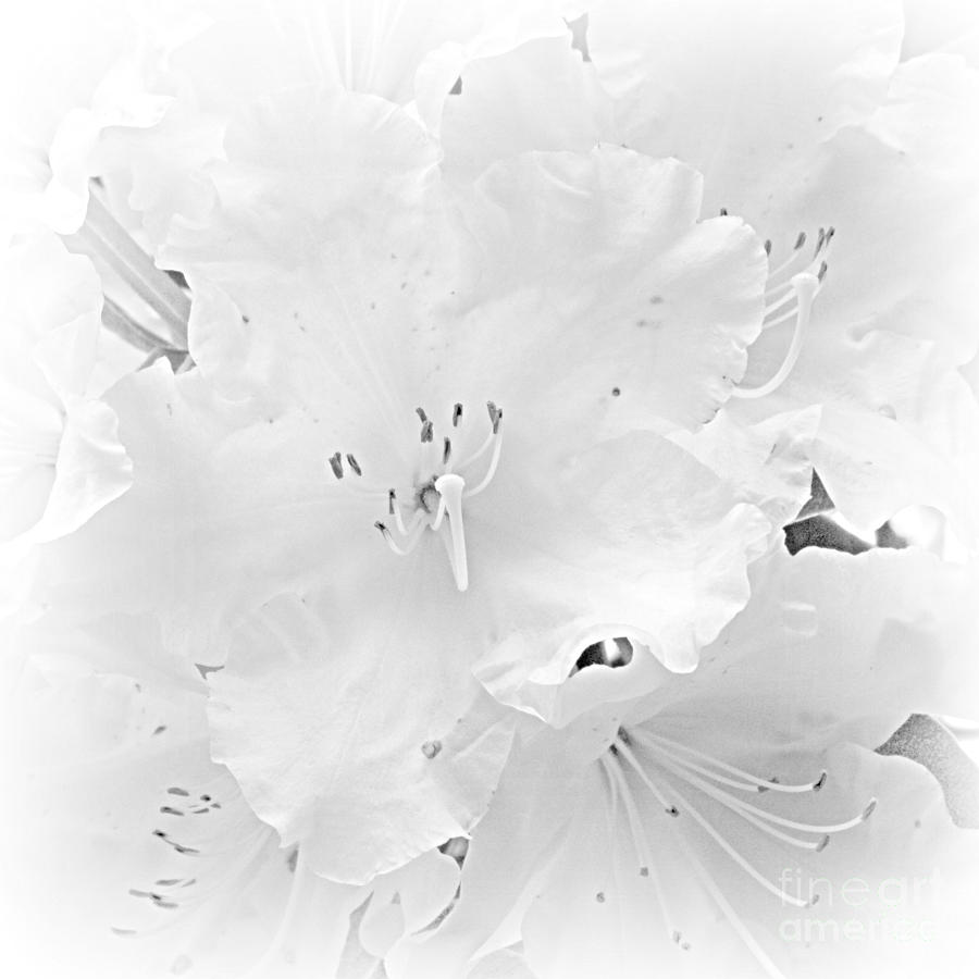 White  Rhoadie Photograph