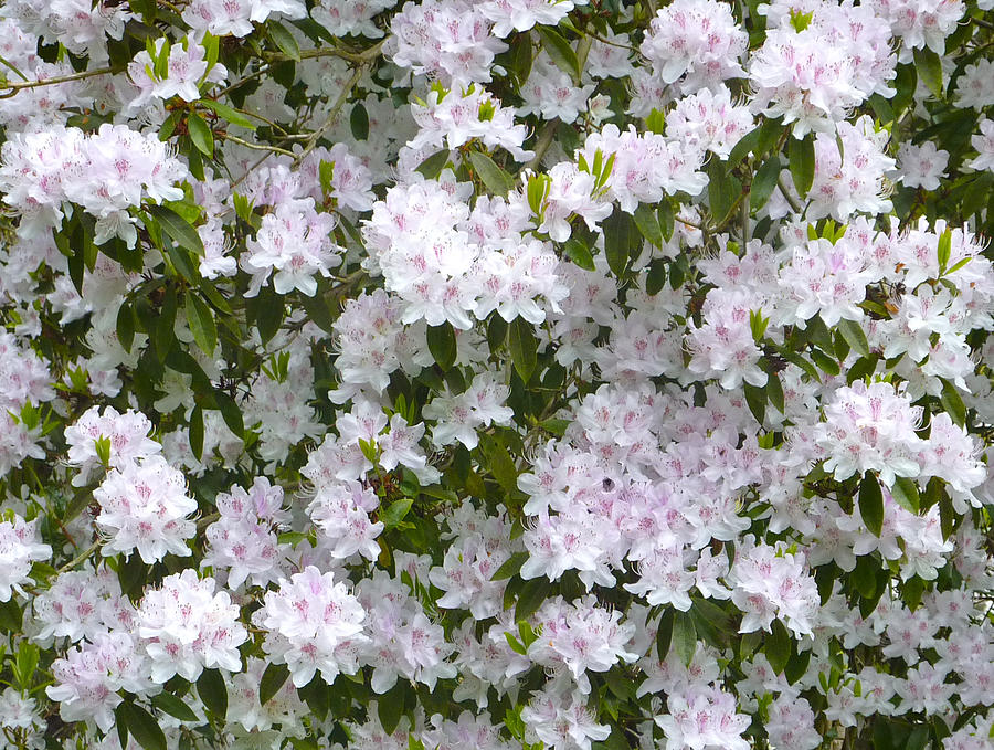 Rhododendron Photograph - White Rhododendron Blossoms by Rob Sherwood
