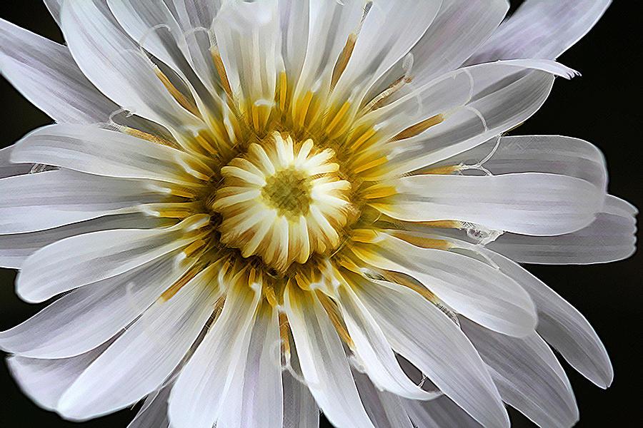 White Dandelion - White Rock Lettuce by Susan Schroeder