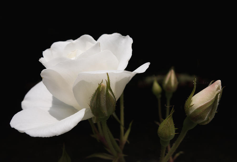 Rose Photograph - White rose black background by Matthias Hauser
