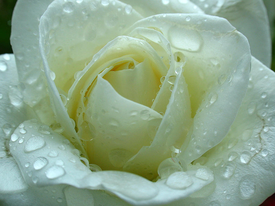 Rose Photograph - White Rose by Juergen Roth