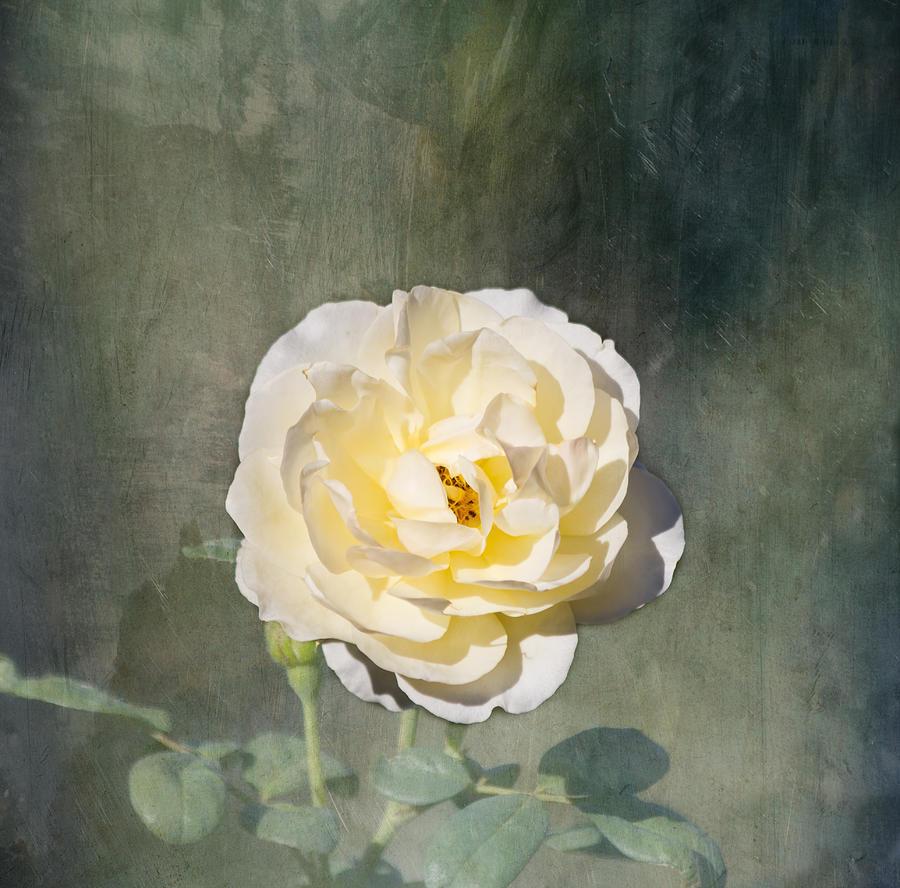 Rose Photograph - White Rose by Kim Hojnacki