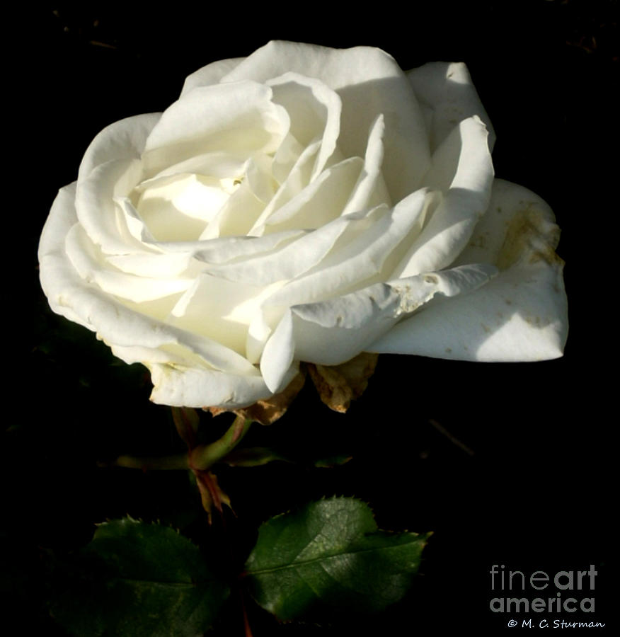 White Rose Painting - White Rose by M C Sturman