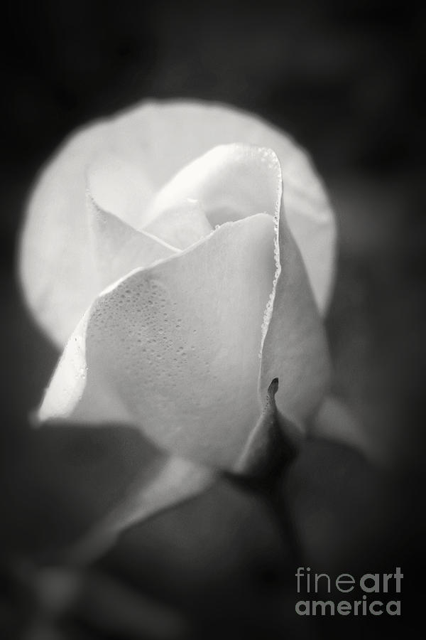White Rose Moonlight Glow Black And White Flower Photography