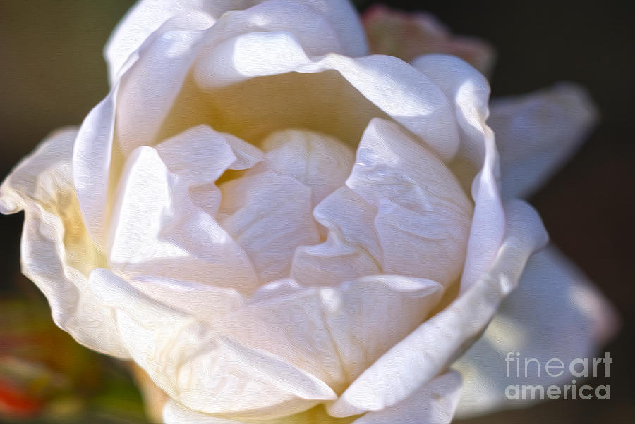 White Rose Photograph - White Rose by Nur Roy