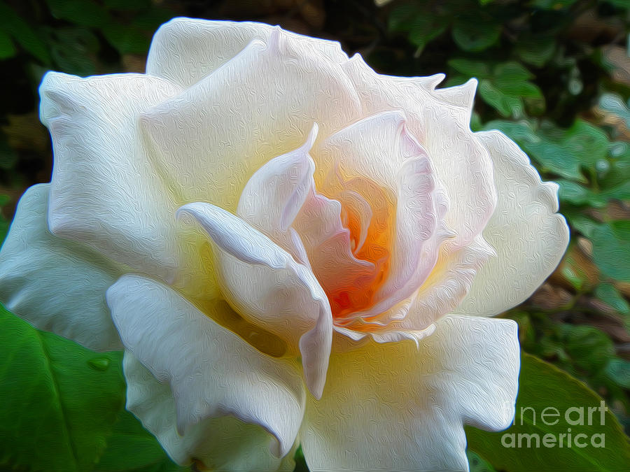 Rose Photograph - White Rose Oleo by Stefano Piccini