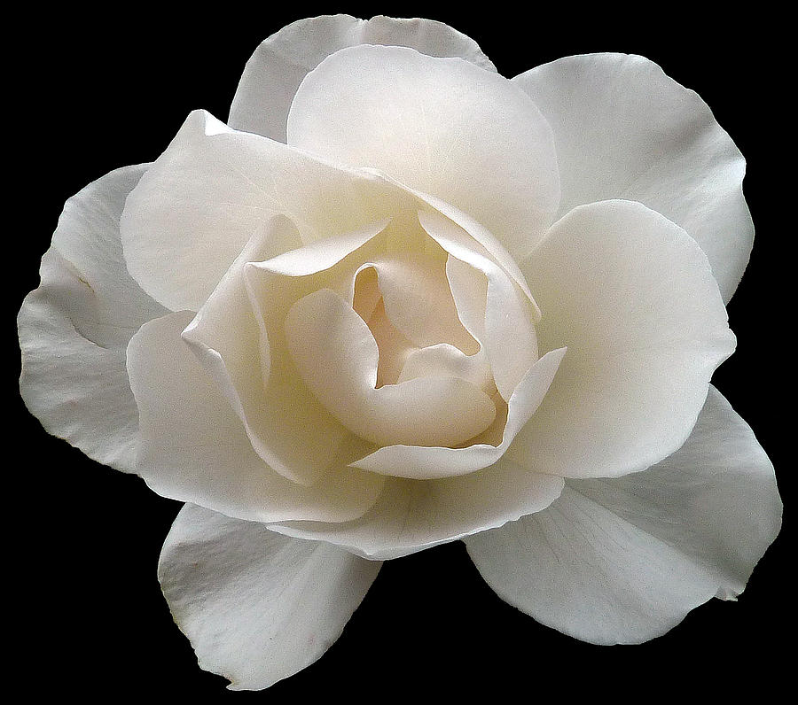 White Rose On Black Photograph by Baato