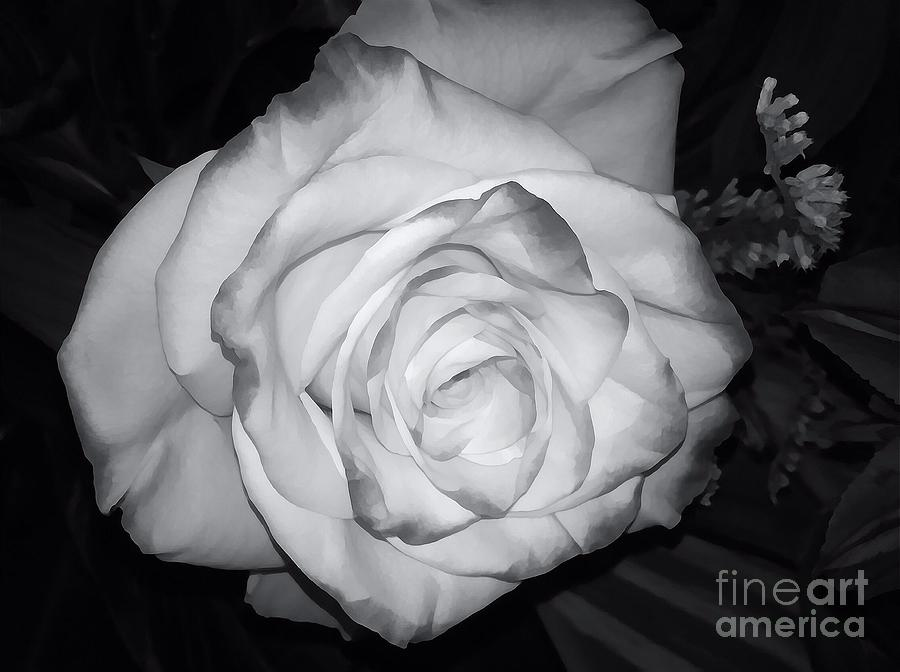 Rose Photograph - White Rose Passion Impression by Saundra Myles
