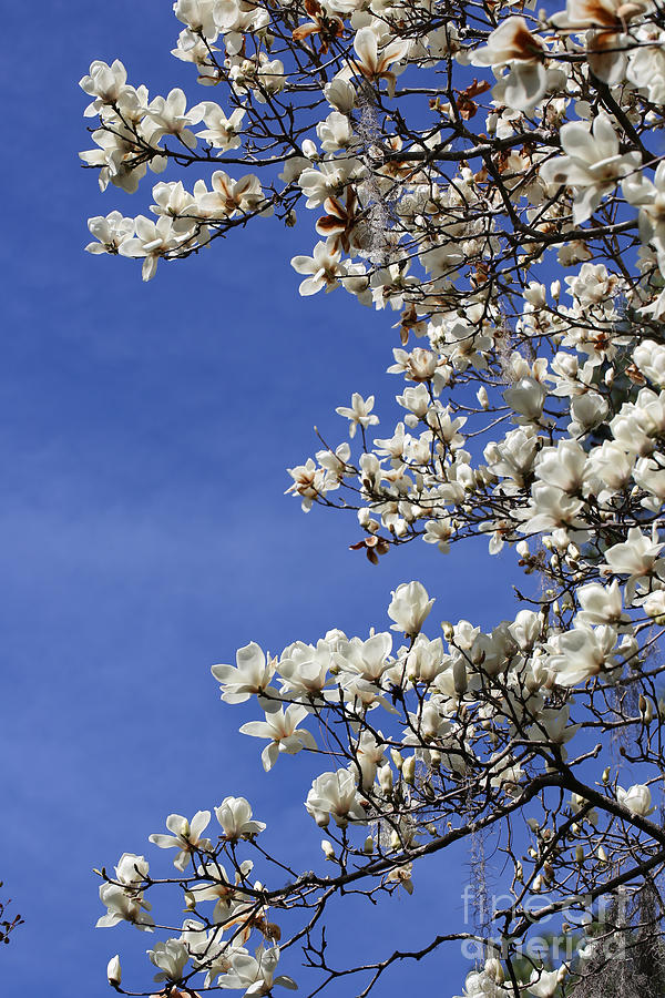 White Saucer Magnolia With Blue Sky Photograph By Carol Groenen