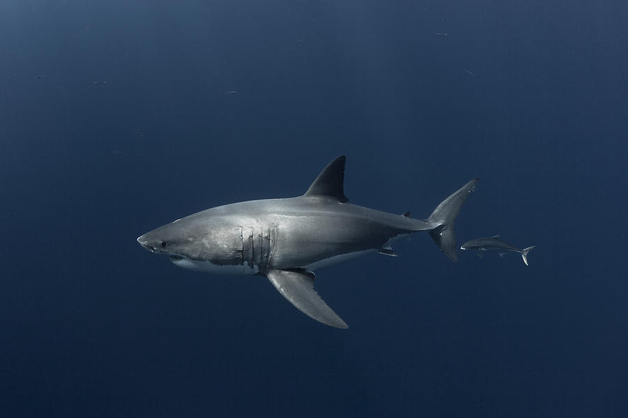 Great Photograph - White Shark With Fish by David Valencia