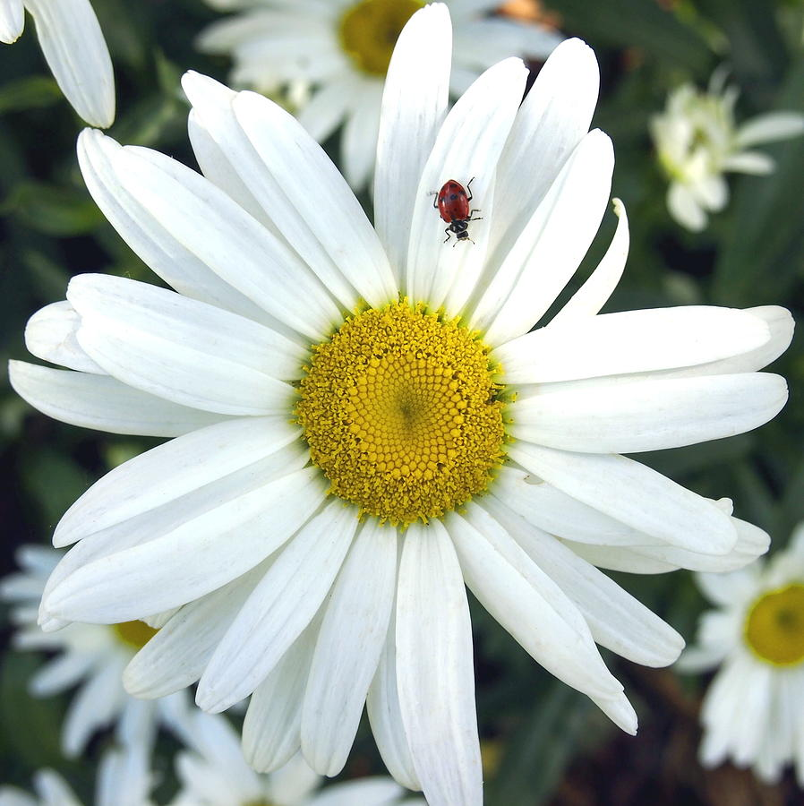 White shasta daisy flower with red ladybug on petal photograph by nature photograph white shasta daisy flower with red ladybug on petal by amy mcdaniel izmirmasajfo