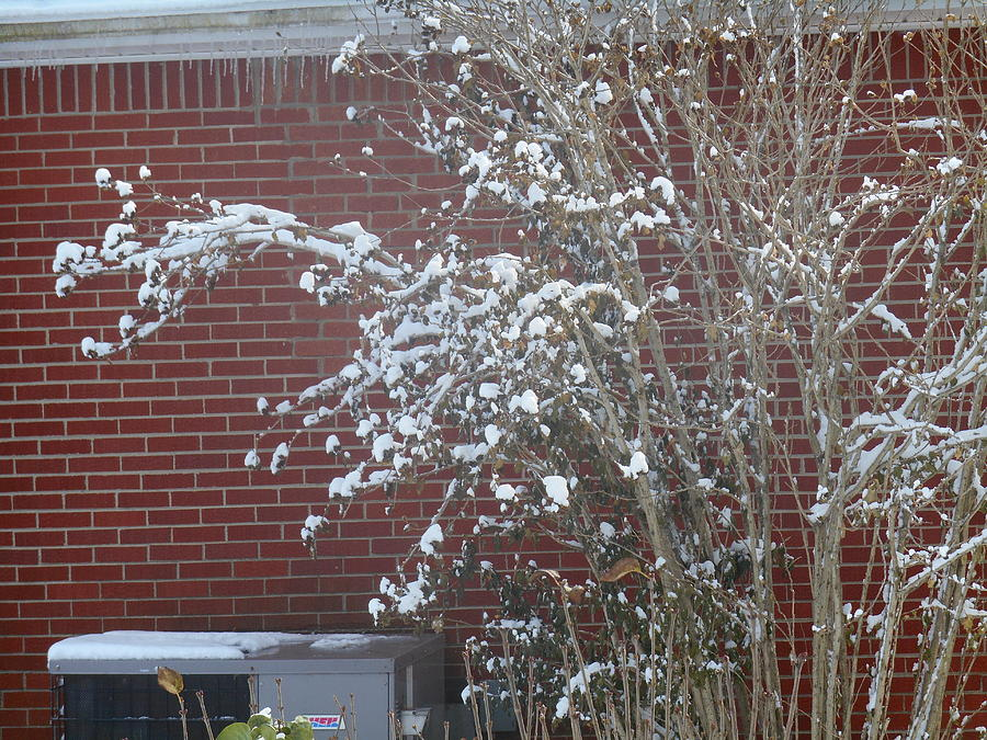 White Snow Bush Against Red Bricks by Shea Holliman