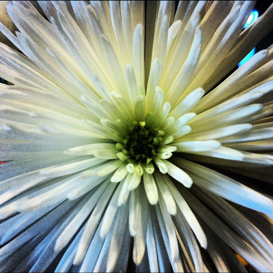 White Spider Mum Photograph By Jean Macaluso