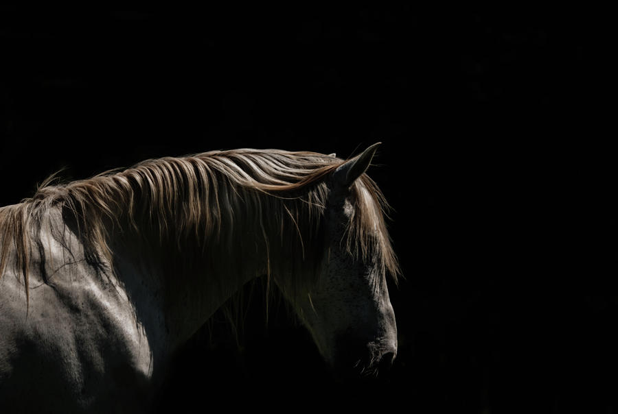 White Stallion - Black Background Photograph by Ryan Courson Photography