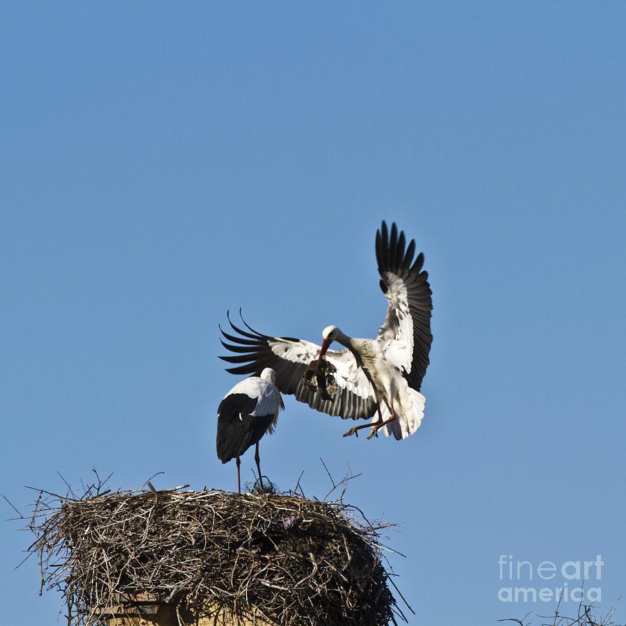 White Stork-couple Nesting Photograph