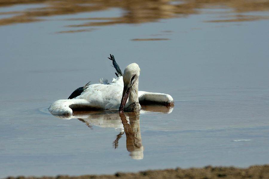 Ciconia Ciconia Photograph - White Stork Drowning In The Dead Sea by Photostock-israel/science Photo Library