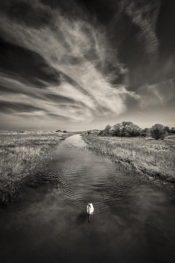White Swan Photograph - White Swan by Dave Bowman