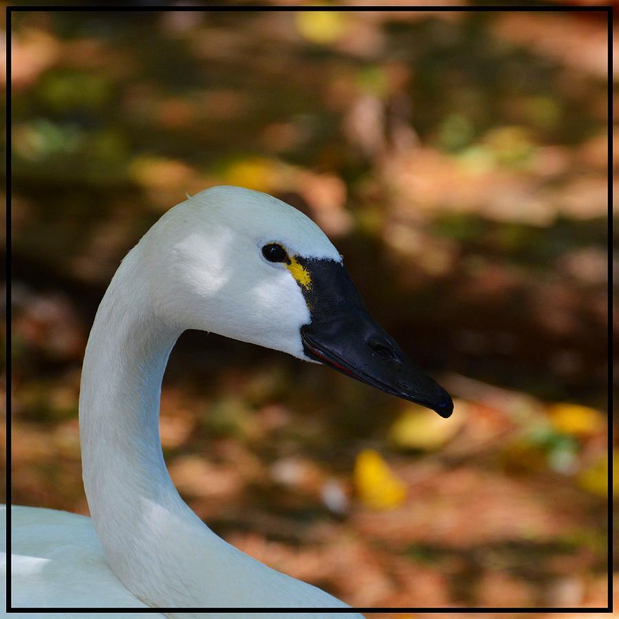 White Swan Photograph by Helene Dignard