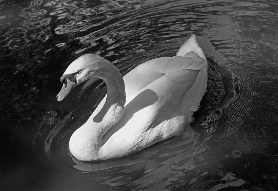 Photograph Photograph - White Swan In Black And White by Suzanne Gaff