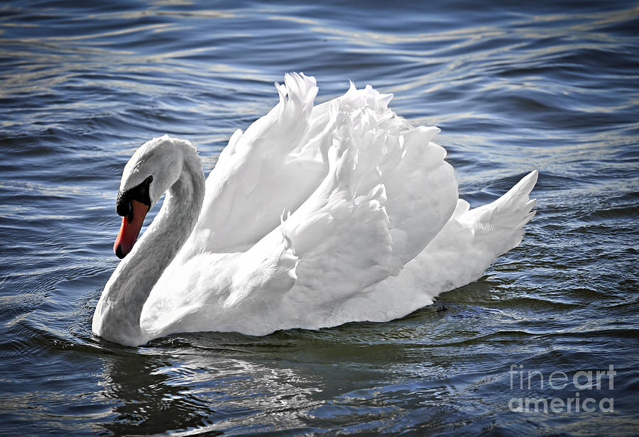 White Swan On Water Photograph By Elena Elisseeva