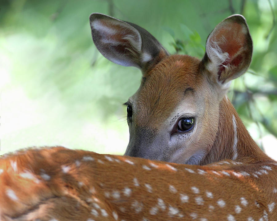 White Tail Deer Fawn Photograph by Pat Gaines