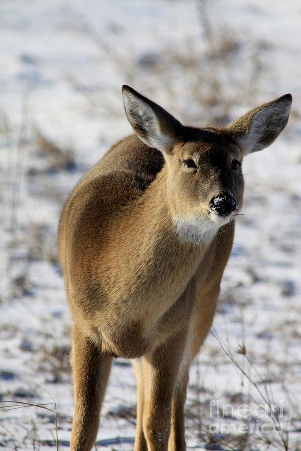 Deer Photograph - White Tail by Rick Rauzi