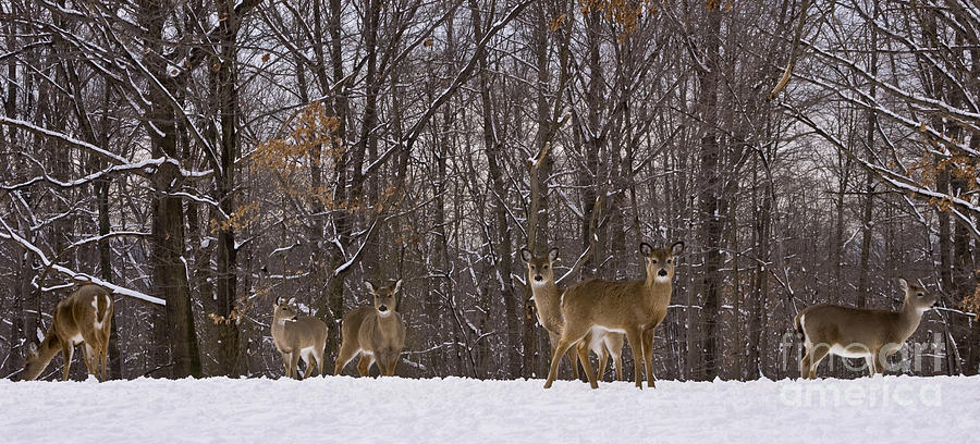 Deer Photograph - White Tailed Deer by Anthony Sacco