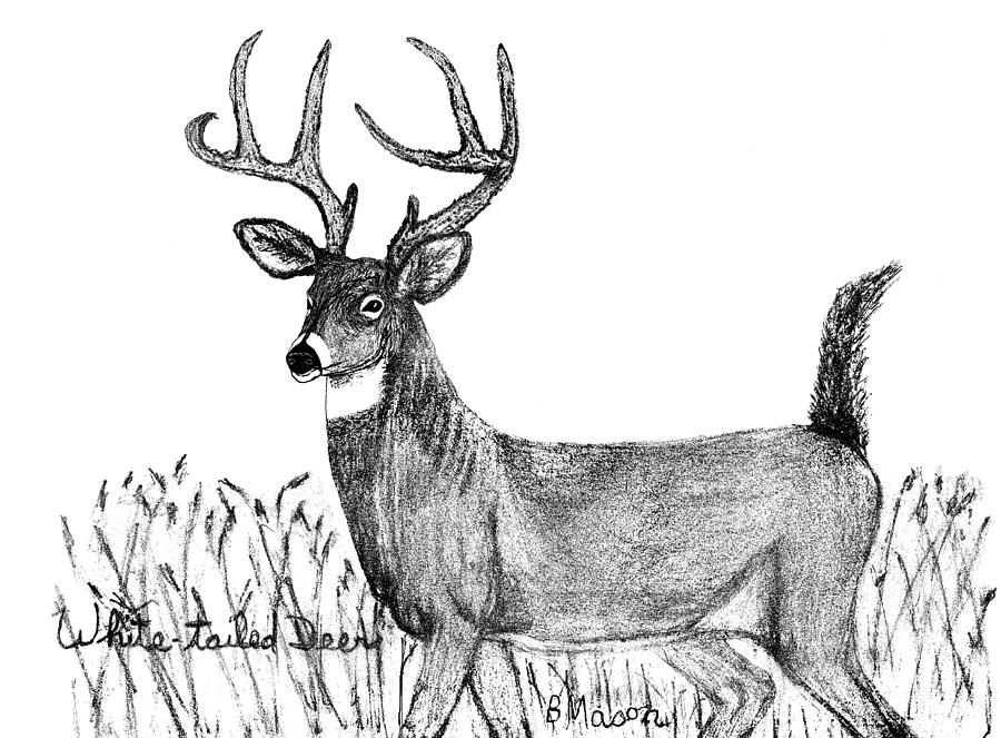 It is an image of Sassy White Tailed Deer Drawing