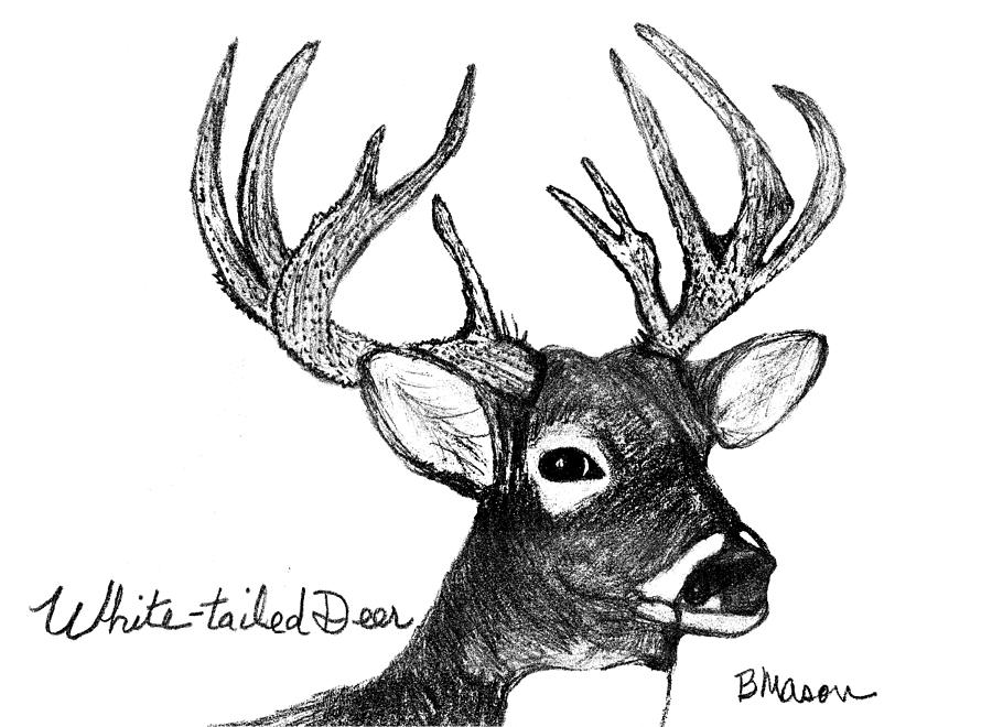 This is a graphic of Lucrative White Tailed Deer Drawing