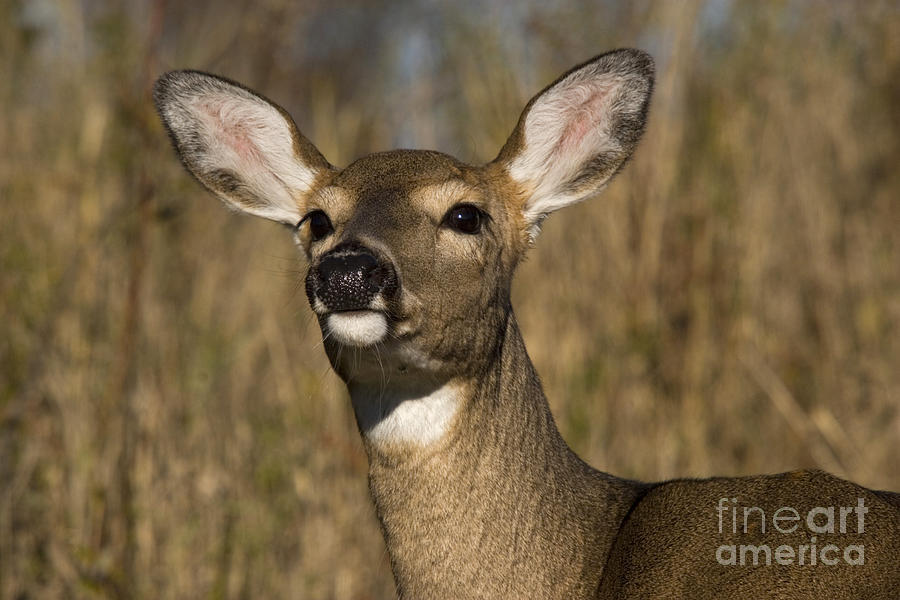 White-tailed Deer Photograph - White-tailed Deer by Linda Freshwaters Arndt