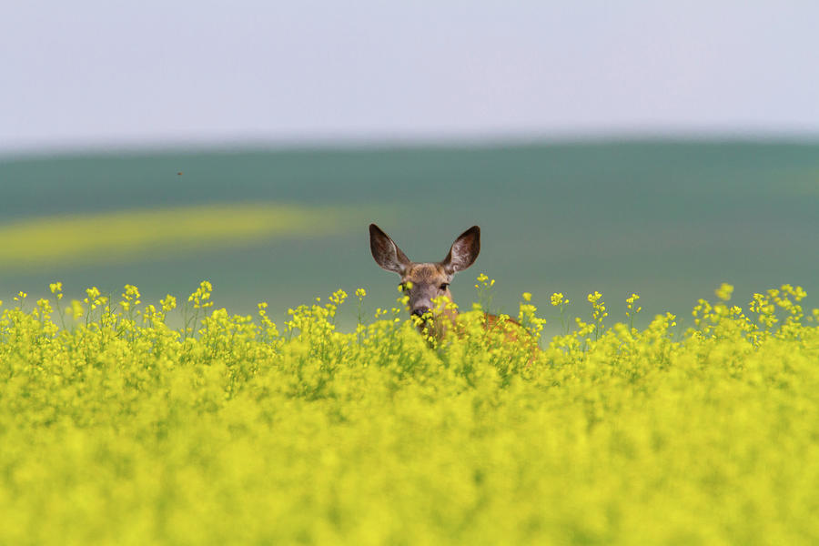 White-tailed Doe Photograph by Ed Matuod