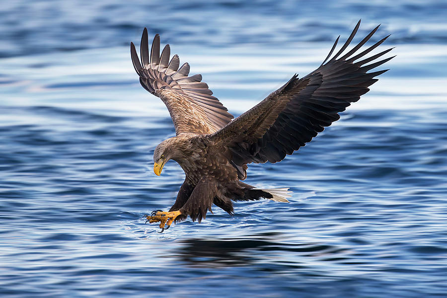 White-tailed Eagle Photograph - White-tailed Eagle by Raymond Ren Rong