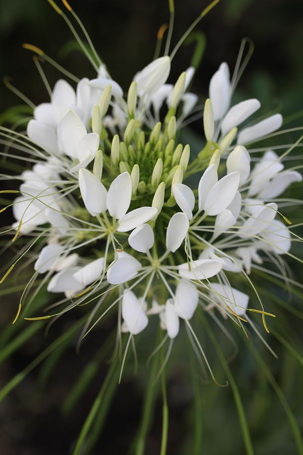 Flower Photograph - White Tenderness by Christiane Schulze Art And Photography