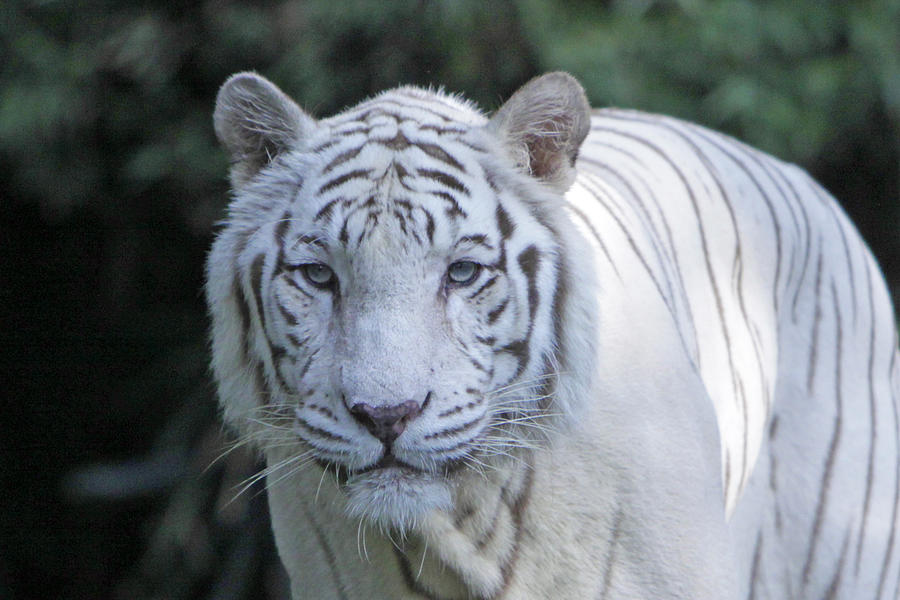 White Tiger Photograph - White Tiger Face by Shoal Hollingsworth