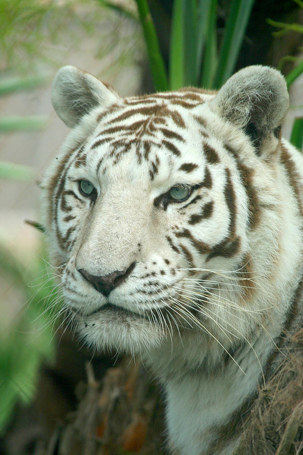 White Tiger Photograph - White Tiger by Karen Lindquist