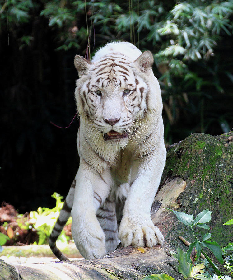 White Tiger Photograph by Seng Chye Teo