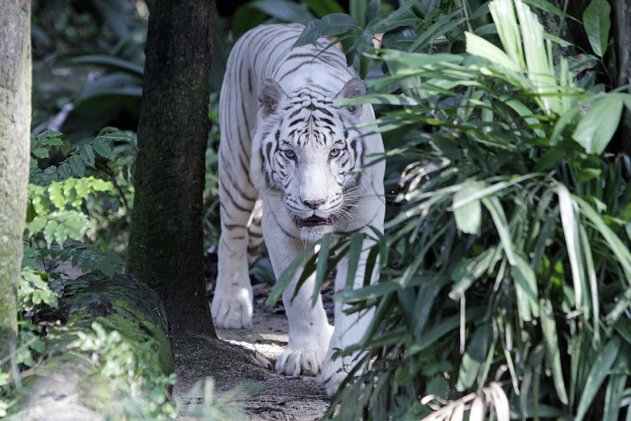 White Tiger Photograph - White Tiger  by Shoal Hollingsworth