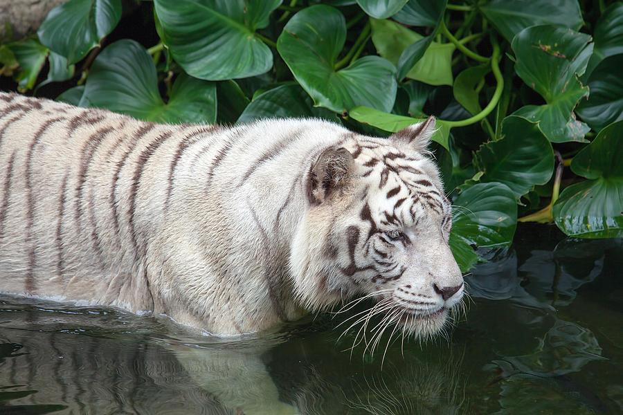 White Tiger Swimming Photograph