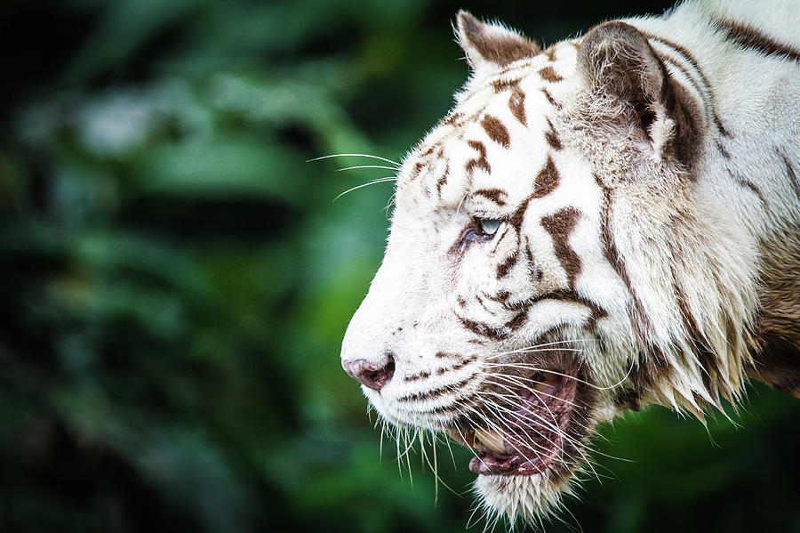 White Tiger Photograph by Tony Kh Lim