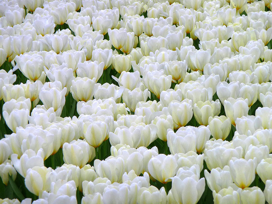 Tulips Photograph - White Tulips by F Salem