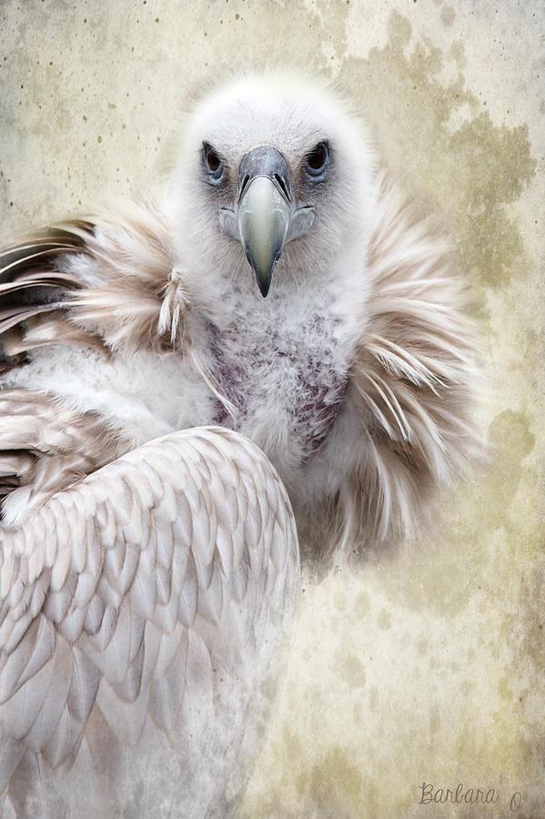 Vulture Photograph - White Vulture  by Barbara Orenya