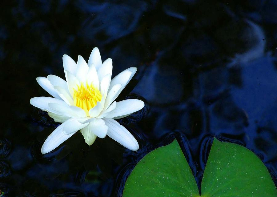 Water Lilly Photograph - White Water Lilly Abstract by Judith Russell-Tooth